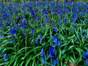 Bluebells in Lyth Valley